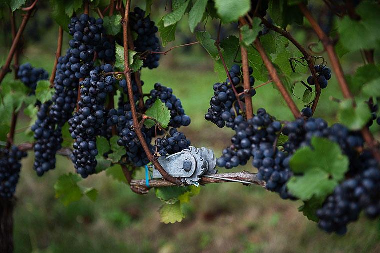 pinot noir grapevine