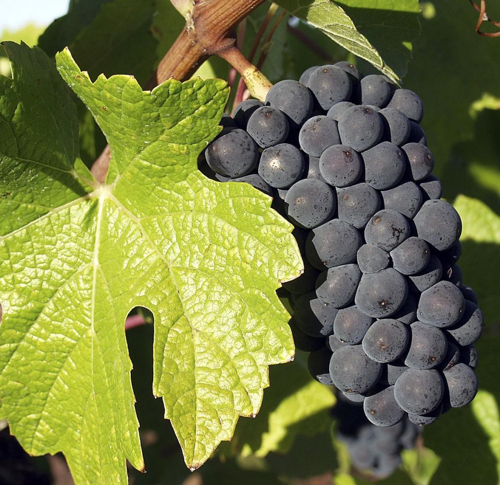 pinot noir grape bunch
