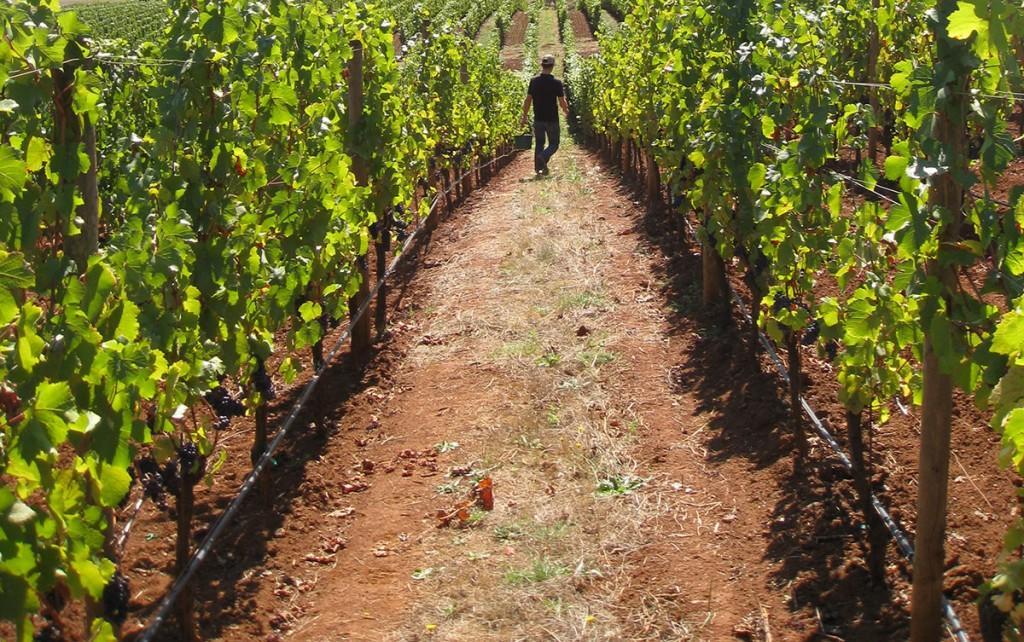 Dobbes Family Estate vineyard
